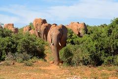 κοπάδι ελεφάντων Στοκ Φωτογραφίες