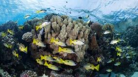 Κοπάδι κίτρινος-ριγωτοί snappers σε μια ζωηρόχρωμη κοραλλιογενή ύφαλο στοκ φωτογραφία με δικαίωμα ελεύθερης χρήσης