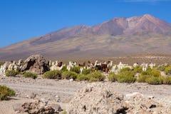 Κοπάδι λάμα στη Βολιβία στοκ φωτογραφία με δικαίωμα ελεύθερης χρήσης