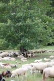 Κοπάδι με τα πρόβατα στο δάσος κάτω από το μεγάλο δέντρο Στοκ φωτογραφία με δικαίωμα ελεύθερης χρήσης