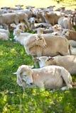 κοπάδι πεδίων πολλά πρόβατα sheeps Στοκ Εικόνες