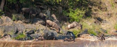 Κοπάδι πιό wildebeest σε μια βιασύνη για να διασχίσει τον ποταμό του Νείλου κατά τη διάρκεια του πιό wildebeest μετανάστευση στοκ εικόνες