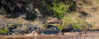 Κοπάδι πιό wildebeest σε μια βιασύνη για να διασχίσει τον ποταμό του Νείλου κατά τη διάρκεια του πιό wildebeest μετανάστευση στοκ φωτογραφίες