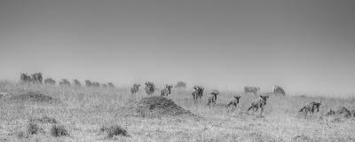 Κοπάδι πιό wildebeest σε μια βιασύνη για να διασχίσει τον ποταμό του Νείλου κατά τη διάρκεια του πιό wildebeest μετανάστευση στοκ φωτογραφία