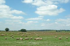 κοπάδι που βόσκει τα αγροτικά πρόβατα σκηνής Στοκ Φωτογραφίες