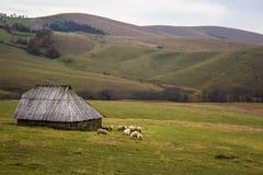 Κοπάδι προβάτων στο λιβάδι βουνών σε Zlatibor, Σερβία στοκ φωτογραφίες με δικαίωμα ελεύθερης χρήσης