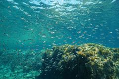 Κοπάδι της Μεσογείου Boops γοπών ψαριών boops Στοκ εικόνες με δικαίωμα ελεύθερης χρήσης
