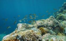Κοπάδι της περίκομψης Μεσογείου ψαριών wrasse Στοκ Φωτογραφία