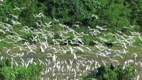 Κοπάδι του άσπρου πετάγματος πουλιών απόθεμα βίντεο