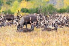 Κοπάδι του ταράνδου tundra το φθινόπωρο στοκ εικόνα