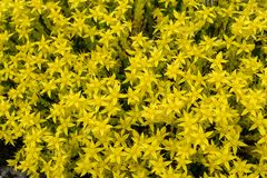 Κοπάδι του φωτεινού κίτρινου στρέμματος Sedum συγκομιδών πετρών δαγκώματος στοκ εικόνες
