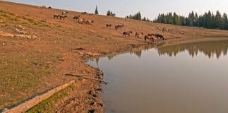 Κοπάδι των άγριων αλόγων στο waterhole στην άγρια σειρά αλόγων βουνών Pryor στη Μοντάνα ΗΠΑ Στοκ Φωτογραφίες