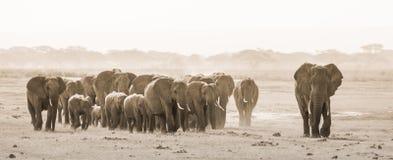 Κοπάδι των άγριων ελεφάντων στο εθνικό πάρκο Amboseli, Kemya Στοκ εικόνες με δικαίωμα ελεύθερης χρήσης