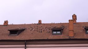 Κοπάδι των άγριων περιστεριών που κάθονται σε μια κεραμωμένη στέγη απόθεμα βίντεο