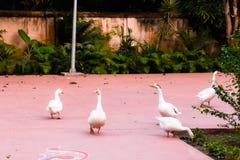 Κοπάδι των άσπρων κύκνων που περπατούν στο αγρόκτημα Αστερισμός του Κύκνου Atratus - αυστραλιανός μεγάλος άσπρος κύκνος στο αγρόκ στοκ φωτογραφίες