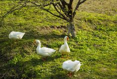 Κοπάδι των άσπρων χήνων που βόσκουν στη χλόη κοντά στο δέντρο Στοκ Φωτογραφίες