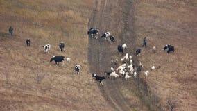 Κοπάδι των αγελάδων και των αιγών που βόσκουν στο λιβάδι φιλμ μικρού μήκους