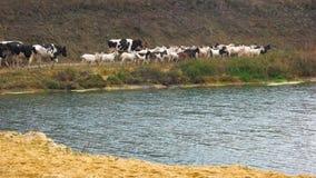 Κοπάδι των αγελάδων και των αιγών που περπατούν κατά μήκος του ποταμού φιλμ μικρού μήκους