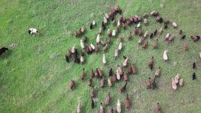 Κοπάδι των αγελάδων και των προβάτων σε μια πράσινη άποψη ουρανού λιβαδιών απόθεμα βίντεο