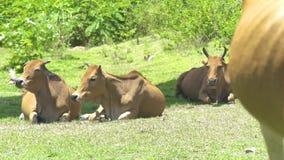 Κοπάδι των αγελάδων και των ταύρων που βρίσκονται στην πράσινη χλόη στο θερινό λιβάδι Αγελάδες που χαλαρώνουν στον τομέα καλλιέργ φιλμ μικρού μήκους