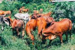 Κοπάδι των αγελάδων που βόσκουν στο θερινό πράσινο τομέα Στοκ φωτογραφίες με δικαίωμα ελεύθερης χρήσης