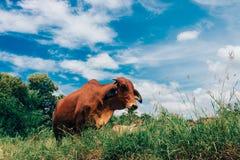 Κοπάδι των αγελάδων που βόσκουν στο θερινό πράσινο τομέα Στοκ Εικόνα