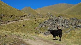 Κοπάδι των αγελάδων που κοιτάζουν στο λόφο