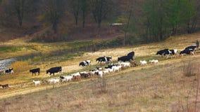 Κοπάδι των αγελάδων που περπατούν στο λιβάδι απόθεμα βίντεο