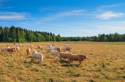 Κοπάδι των αγελάδων σε ένα λιβάδι Στοκ φωτογραφία με δικαίωμα ελεύθερης χρήσης