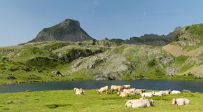 Κοπάδι των αγελάδων στα αλπικά λιβάδια Στοκ Φωτογραφία