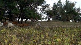 Κοπάδι των αγελάδων στον τομέα στο αγρόκτημα ζωικού κεφαλαίου Βοοειδή γάλακτος που περπατούν στο αγρόκτημα απόθεμα βίντεο