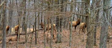 Κοπάδι των αλκών που περπατούν σε ένα δάσος στοκ εικόνες με δικαίωμα ελεύθερης χρήσης