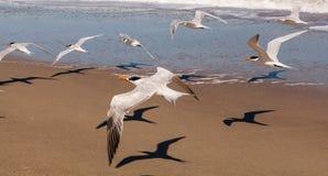 Κοπάδι των βασιλικών στερνών που πετούν επάνω από μια παραλία της Φλώριδας Στοκ εικόνες με δικαίωμα ελεύθερης χρήσης