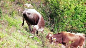 Κοπάδι των βοοειδών, καφετιές αγελάδες που βόσκουν στον πράσινο λόφο, θυελλώδης ημέρα απόθεμα βίντεο