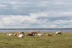 Κοπάδι των βοοειδών στήριξης από την παραλία Στοκ Εικόνες