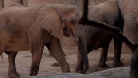 Κοπάδι των ελεφάντων ένας ζωολογικός κήπος από τη Βαλέντσια Ισπανία φιλμ μικρού μήκους