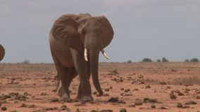 Κοπάδι των ελεφάντων στην Κένυα φιλμ μικρού μήκους