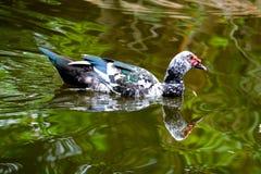 Κοπάδι των εσωτερικών παπιών που κολυμπούν στα τέλματα Στοκ φωτογραφίες με δικαίωμα ελεύθερης χρήσης