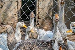 Κοπάδι των εσωτερικών παπιών χήνων στο χωριό στοκ εικόνες