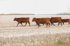 Κοπάδι των κόκκινων αγελάδων του Angus Στοκ φωτογραφία με δικαίωμα ελεύθερης χρήσης