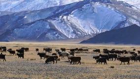 Κοπάδι των μογγολικών προβάτων κατά τη βοσκή στο λιβάδι απόθεμα βίντεο
