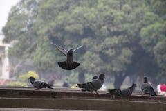Κοπάδι των περιστεριών που ταΐζουν και που πετούν στοκ φωτογραφία