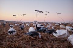 Κοπάδι των πουλιών νερού δολωμάτων που επεκτείνονται κοντά σε μια λίμνη Στοκ φωτογραφία με δικαίωμα ελεύθερης χρήσης