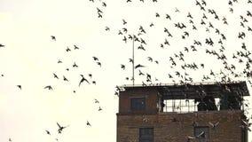 Κοπάδι των πουλιών που πετούν μακριά, σε αργή κίνηση απόθεμα βίντεο