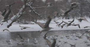 Κοπάδι των πουλιών που πετούν πέρα από τη λίμνη στο πάρκο σε σε αργή κίνηση απόθεμα βίντεο