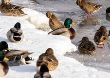 Κοπάδι των πρασινολαιμών στο χιόνι Πουλιά στη λίμνη την πρώιμη άνοιξη Στοκ φωτογραφίες με δικαίωμα ελεύθερης χρήσης