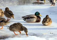 Κοπάδι των πρασινολαιμών στο χιόνι Πουλιά στη λίμνη την πρώιμη άνοιξη Στοκ Φωτογραφία