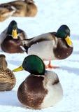 Κοπάδι των πρασινολαιμών στο χιόνι Πουλιά στη λίμνη την πρώιμη άνοιξη Στοκ Εικόνες