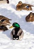 Κοπάδι των πρασινολαιμών στο χιόνι Πουλιά στη λίμνη την πρώιμη άνοιξη Στοκ Εικόνα