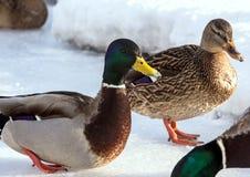 Κοπάδι των πρασινολαιμών στο χιόνι Πουλιά στη λίμνη την πρώιμη άνοιξη Στοκ εικόνες με δικαίωμα ελεύθερης χρήσης